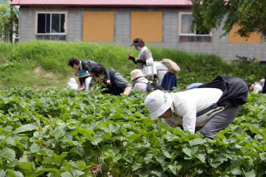 畑でレストラン収穫体験3